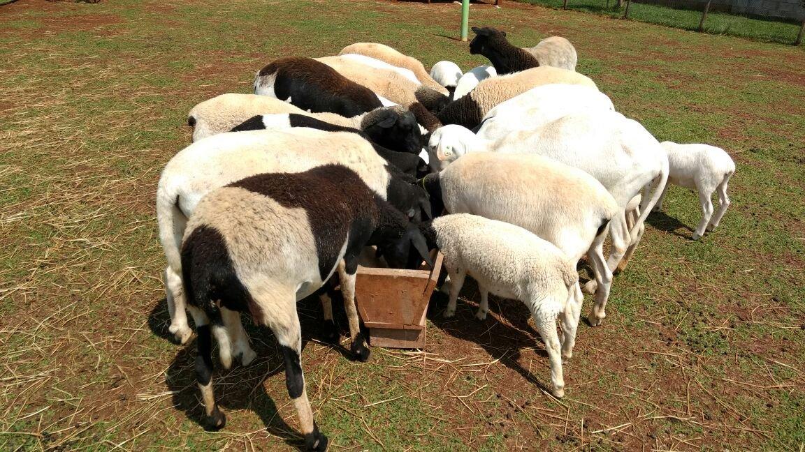 Carneiros Dorper para Venda, ovinos dorper para venda, comercio de ovelhas dorper, venda de reprodutores doper, venda de matriz dorper, reregos doper, ovinos doper, venda de carneiros, dorper, carneiros, ovinos, ovelas.